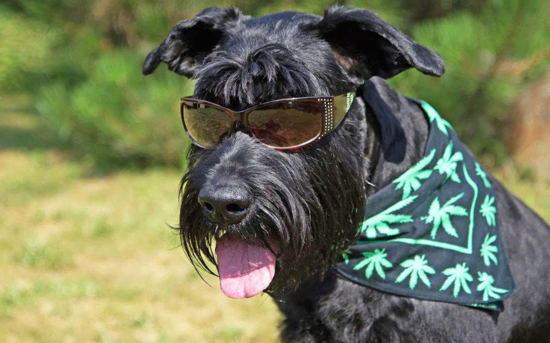 Marijuana's Effect on Dogs