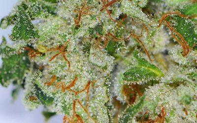 Terpenes in Marijuana
