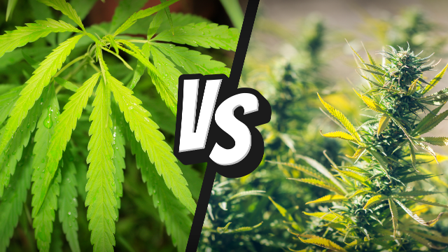 Difference Between Types of Cannabis