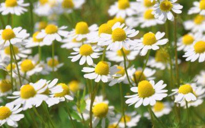 Bisabolol Terpene Explained