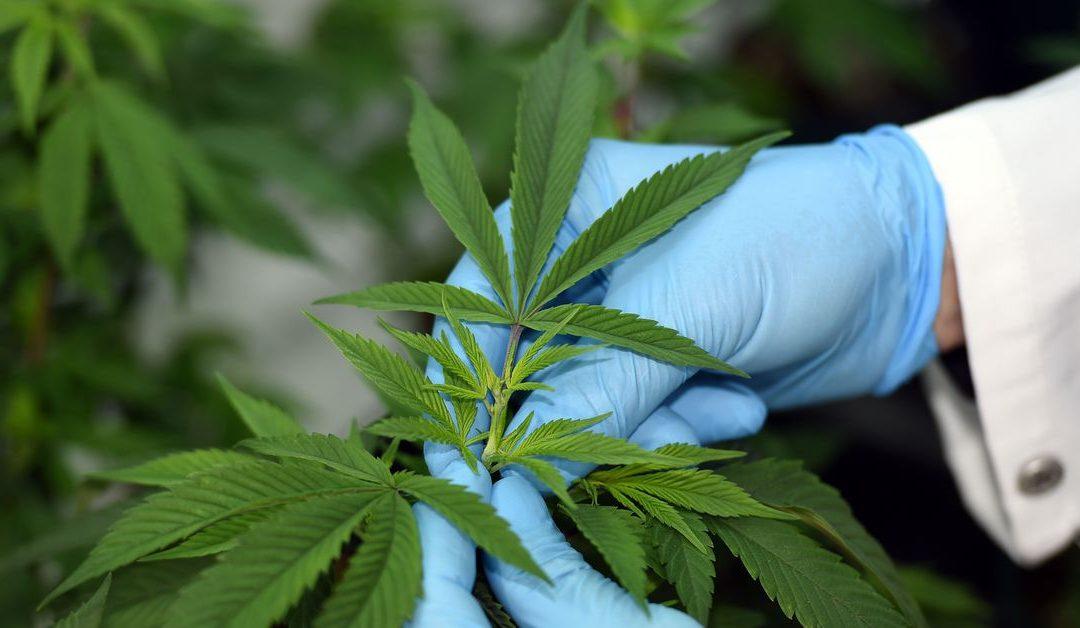 DEA Ready To End Federal Cannabis Research Monopoly