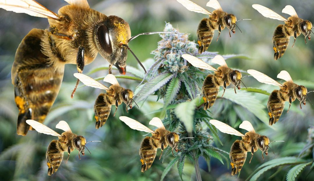 Could Cannabis Save the Bees